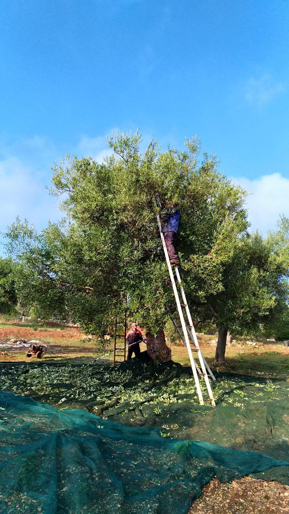 Raccolta olive nella proprietà - Trulli Eutopia
