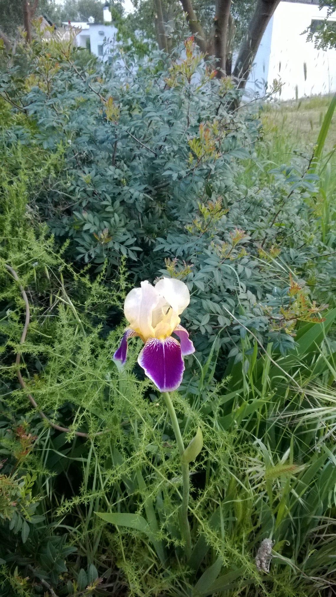 Trulli Eutopia - fiore